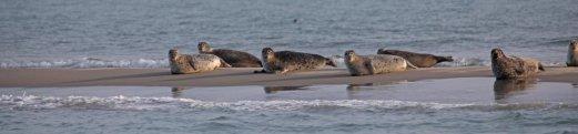 roggenplaat met zeehonden
